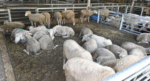 Karabük Belediyesi Hayvan Pazarı Kurban Bayramına Hazır
