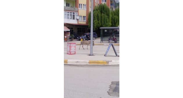 Şehrin İşlek Caddesinde Gezen Eşek Dikkat Çekti